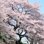 三大さくらソング「さくら」「桜」「SAKURA」