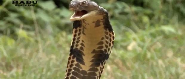 歌手「コブラに噛まれたけどステージ続行するンゴwwwwww」